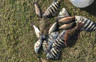 Snapper, Sheephead, Flounder and Black Drum